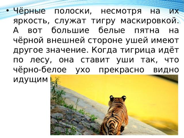 Чёрные полоски, несмотря на их яркость, служат тигру маскировкой. А вот большие белые пятна на чёрной внешней стороне ушей имеют другое значение. Когда тигрица идёт по лесу, она ставит уши так, что чёрно-белое ухо прекрасно видно идущим за ней тигрятам.