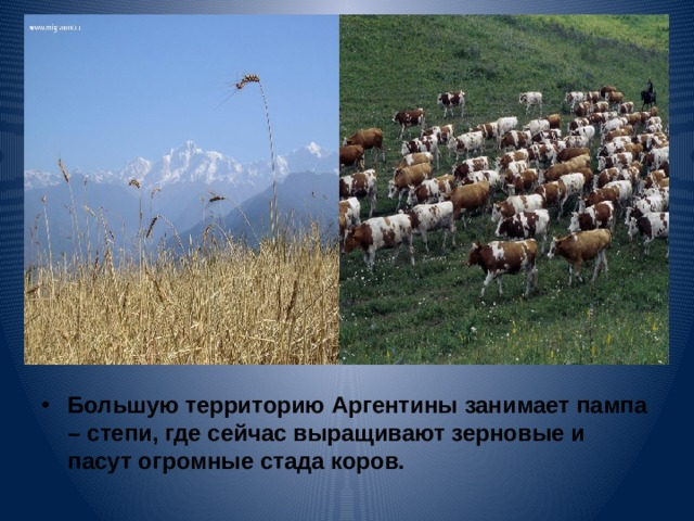 Большую территорию Аргентины занимает пампа – степи, где сейчас выращивают зерновые и пасут огромные стада коров.