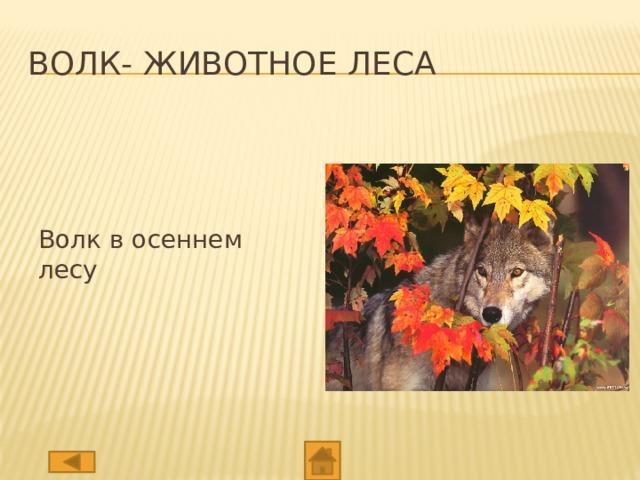 Волк- животное леса Волк в осеннем лесу
