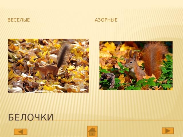 Веселые Азорные Белочки