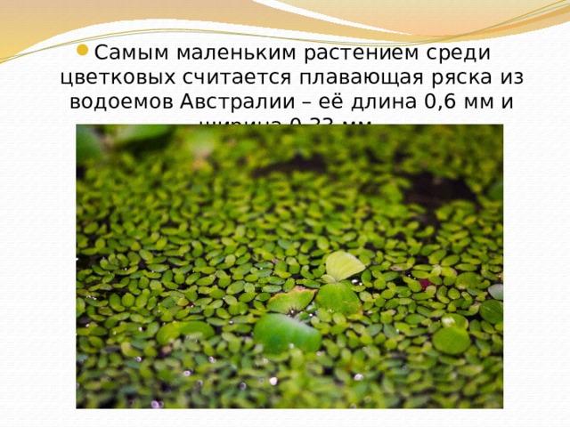 Самым маленьким растением среди цветковых считается плавающая ряска из водоемов Австралии – её длина 0,6 мм и ширина 0,33 мм.