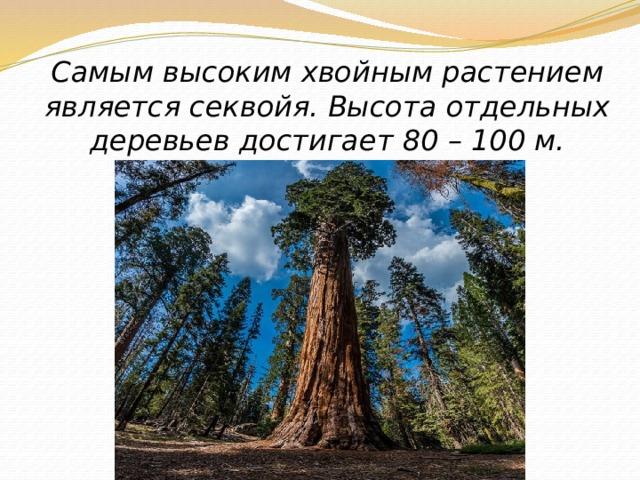 Самым высоким хвойным растением является секвойя. Высота отдельных деревьев достигает 80 – 100 м.