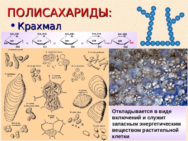 ПОЛИСАХАРИДЫ: Крахмал Откладывается в виде включений и служит запасным энергетическим веществом растительной клетки
