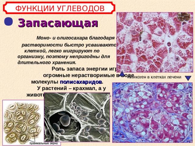 ФУНКЦИИ УГЛЕВОДОВ Запасающая  Моно- и олигосахара благодаря своей растворимости быстро усваиваются клеткой, легко мигрируют по организму, поэтому непригодны для длительного хранения.  Роль запаса энергии играют огромные нерастворимые в воде молекулы полисахаридов . У растений – крахмал, а у животных и грибов – гликоген.  Гликоген в клетках печени