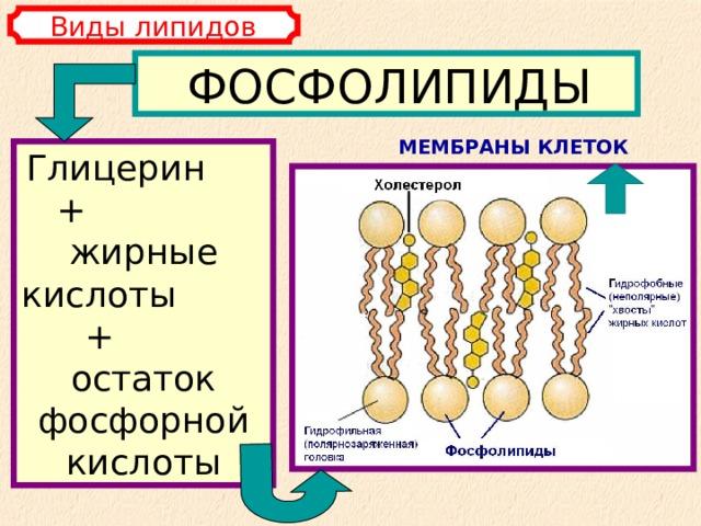 Виды липидов ФОСФОЛИПИДЫ МЕМБРАНЫ КЛЕТОК Глицерин + жирные кислоты + остаток фосфорной кислоты