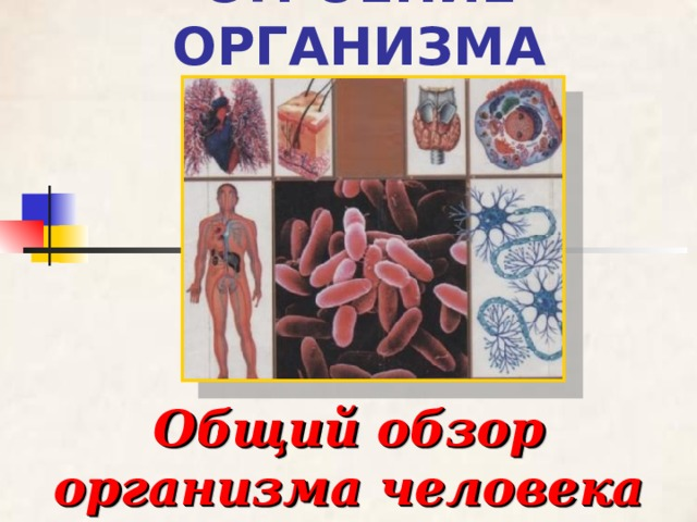 СТРОЕНИЕ ОРГАНИЗМА Общий обзор организма человека