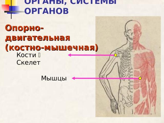 ОРГАНЫ, СИСТЕМЫ ОРГАНОВ Опорно-двигательная (костно-мышечная) Кости  Скелет Мышцы