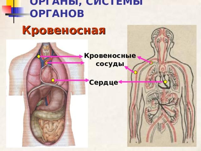 ОРГАНЫ, СИСТЕМЫ ОРГАНОВ Кровеносная Кровеносные сосуды Сердце