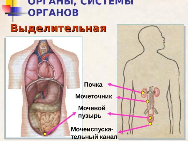 ОРГАНЫ, СИСТЕМЫ ОРГАНОВ Выделительная Почка Мочеточник Мочевой пузырь Мочеиспуска-тельный канал