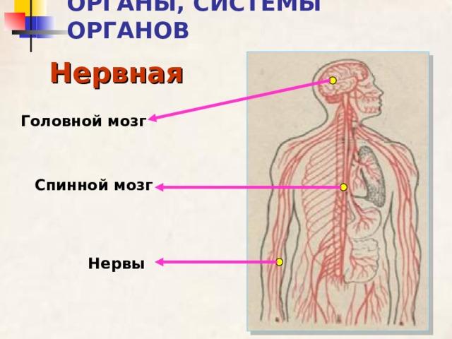 ОРГАНЫ, СИСТЕМЫ ОРГАНОВ Нервная Головной мозг Спинной мозг Нервы