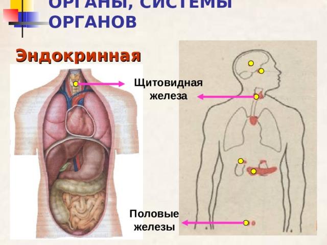 ОРГАНЫ, СИСТЕМЫ ОРГАНОВ Эндокринная Щитовидная железа Половые железы