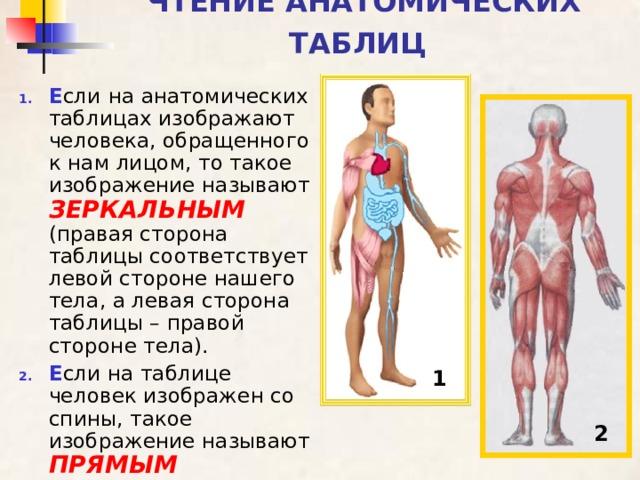 ЧТЕНИЕ АНАТОМИЧЕСКИХ ТАБЛИЦ  Е сли  на анатомических таблицах изображают человека, обращенного к нам лицом, то такое изображение называют ЗЕРКАЛЬНЫМ (правая сторона таблицы соответствует левой стороне нашего тела, а левая сторона таблицы – правой стороне тела). Е сли на таблице человек изображен со спины, такое изображение называют ПРЯМЫМ  1 2