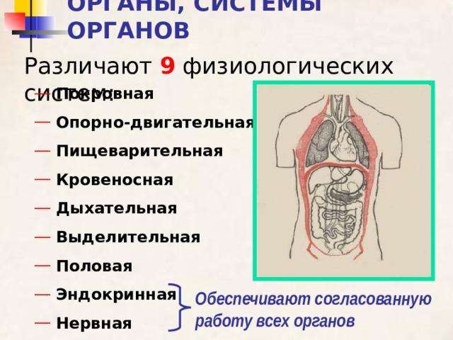 ОРГАНЫ, СИСТЕМЫ ОРГАНОВ Различают 9 физиологических систем:  Покровная  Опорно-двигательная  Пищеварительная  Кровеносная  Дыхательная  Выделительная  Половая  Эндокринная  Нервная Обеспечивают согласованную работу всех органов