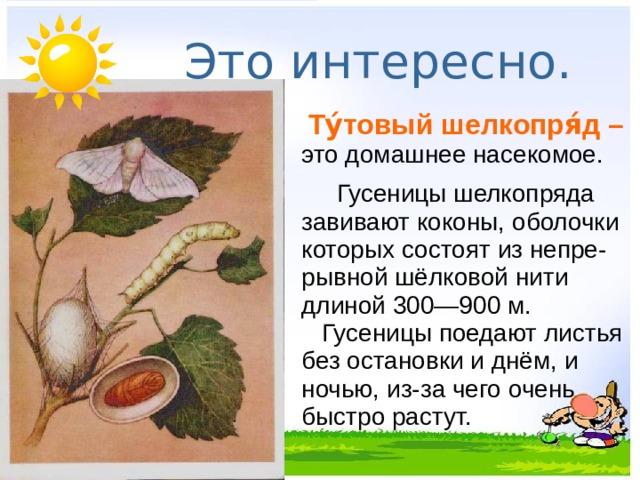 Это интересно.   Ту́товый шелкопря́д – это домашнее насекомое.    Гусеницы шелкопряда завивают коконы, оболочки которых состоят из непре-рывной шёлковой нити длиной 300—900 м.     Гусеницы поедают листья без остановки и днём, и ночью, из-за чего очень быстро растут.