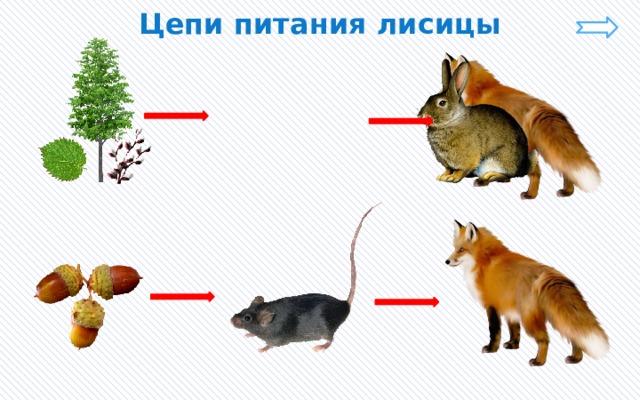 Цепи питания лисицы
