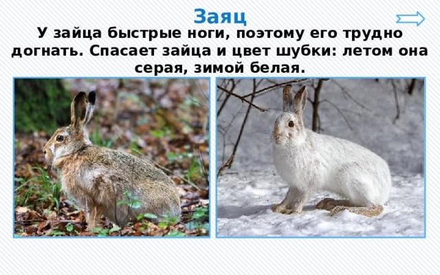 Заяц У зайца быстрые ноги, поэтому его трудно догнать. Спасает зайца и цвет шубки: летом она серая, зимой белая.