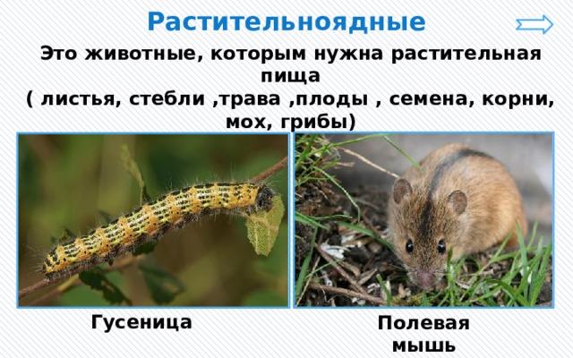 Растительноядные Это животные, которым нужна растительная пища ( листья, стебли ,трава ,плоды , семена, корни, мох, грибы) Гусеница Полевая мышь
