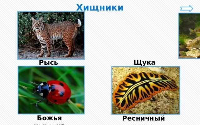 Хищники Рысь Щука Божья коровка Ресничный червь