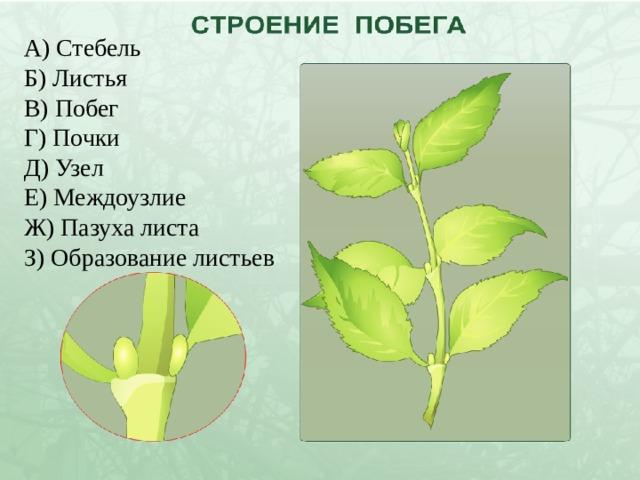 А) Стебель Б) Листья В) Побег Г) Почки Д) Узел Е) Междоузлие Ж) Пазуха листа З) Образование листьев