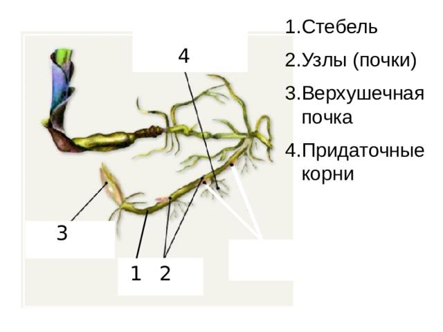 1.Стебель 2.Узлы (почки) 3.Верхушечная почка 4.Придаточные корни 4 3 2 1