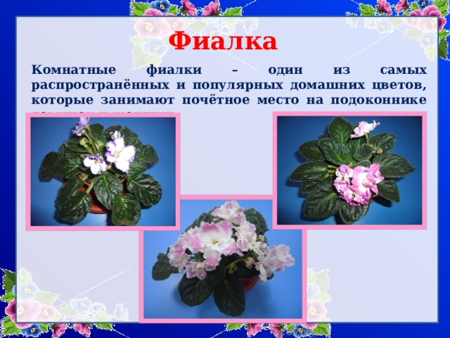 Фиалка   Комнатные фиалки – один из самых распространённых и популярных домашних цветов, которые занимают почётное место на подоконнике девушек и женщин.
