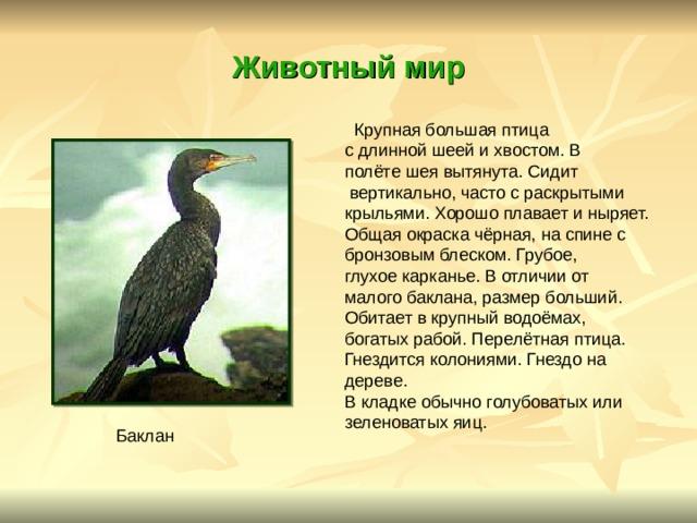 Животный  мир  Крупная большая птица с длинной шеей и хвостом. В полёте шея вытянута. Сидит  вертикально, часто с раскрытыми крыльями. Хорошо плавает и ныряет. Общая окраска чёрная, на спине с бронзовым блеском. Грубое, глухое карканье. В отличии от малого баклана, размер больший. Обитает в крупный водоёмах, богатых рабой. Перелётная птица. Гнездится колониями. Гнездо на дереве. В кладке обычно голубоватых или зеленоватых яиц. Баклан