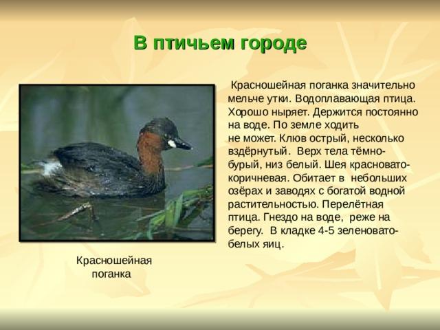 В птичьем городе  Красношейная поганка значительно мельче утки. Водоплавающая птица. Хорошо ныряет. Держится постоянно на воде. По земле ходить не может. Клюв острый, несколько вздёрнутый. Верх тела тёмно- бурый, низ белый. Шея красновато- коричневая. Обитает в небольших озёрах и заводях с богатой водной растительностью. Перелётная птица. Гнездо на воде, реже на берегу. В кладке 4-5 зеленовато- белых яиц. Красношейная  поганка