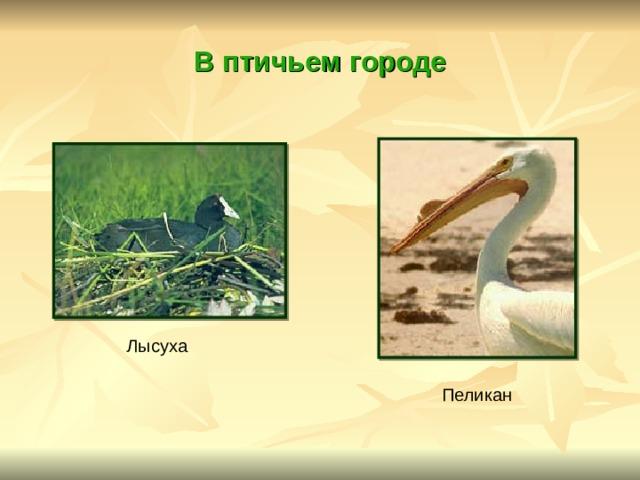 В птичьем городе Лысуха Пеликан