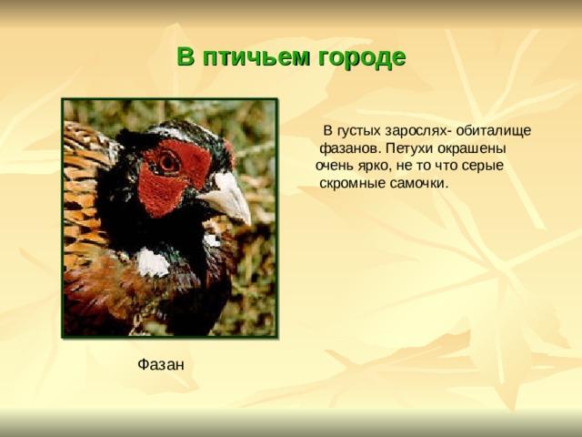 В птичьем городе  В густых зарослях- обиталище  фазанов. Петухи окрашены очень ярко, не то что серые  скромные самочки. Фазан