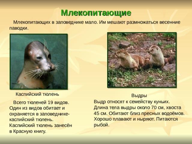 Млекопитающие  Млекопитающих в заповеднике мало. Им мешают размножаться весенние паводки.  Выдры Каспийский тюлень Выдр относят к семейству куньих. Длина тела выдры около 70 см, хвоста 45 см. Обитают близ пресных водоёмов. Хорошо плавают и ныряют. Питаются рыбой.  Всего тюленей 19 видов. Один из видов обитает и охраняется в заповеднике- каспийский тюлень. Каспийский тюлень занесён в Красную книгу.