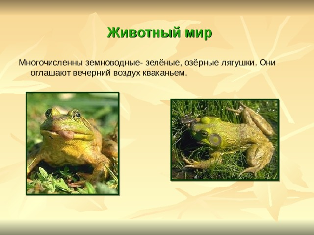 Животный мир Многочисленны земноводные- зелёные, озёрные лягушки. Они оглашают вечерний воздух кваканьем.