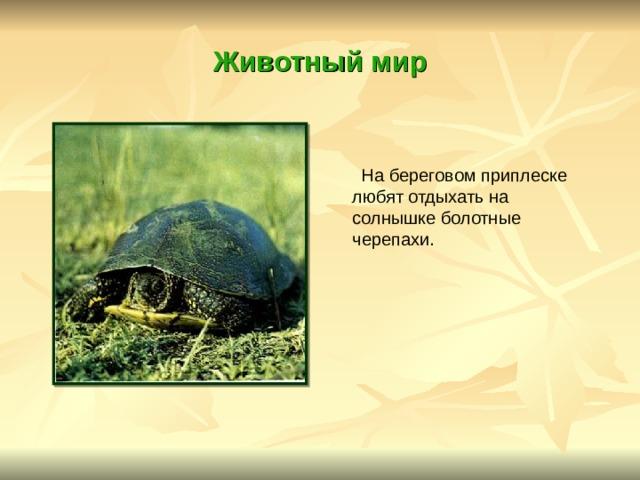 Животный мир  На береговом приплеске любят отдыхать на солнышке болотные черепахи.