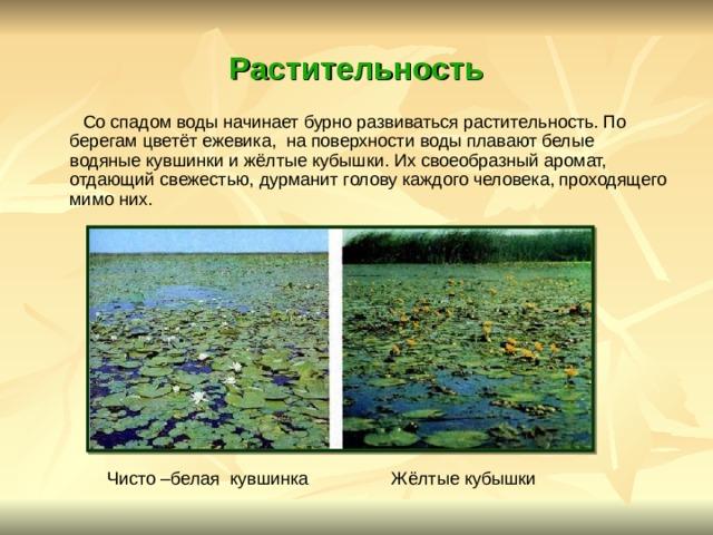 Растительность  Со спадом воды начинает бурно развиваться растительность. По берегам цветёт ежевика, на поверхности воды плавают белые водяные кувшинки и жёлтые кубышки. Их своеобразный аромат, отдающий свежестью, дурманит голову каждого человека, проходящего мимо них. Чисто –белая кувшинка Жёлтые кубышки