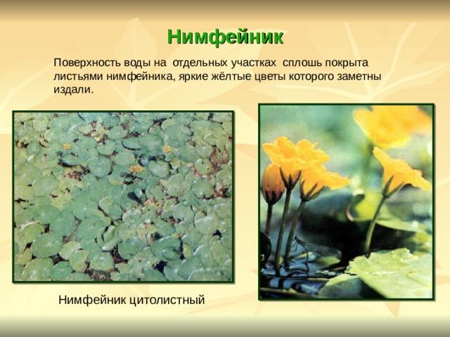 Нимфейник Поверхность воды на отдельных участках сплошь покрыта листьями нимфейника, яркие жёлтые цветы которого заметны издали.  Нимфейник цитолистный