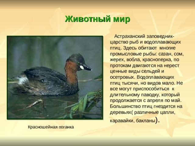 Животный мир  Астраханский заповедник- царство рыб и водоплавающих птиц. Здесь обитают многие промысловые рыбы: сазан, сом, жерех, вобла, красноперка, по протокам двигаются на нерест ценные виды сельдей и осетровых. Водоплавающих птиц тысячи, но видов мало. Не все могут приспособиться к длительному паводку, который продолжается с апреля по май. Большинство птиц гнездится на деревьях( различные цапли, каравайки, бакланы ). Красношейная поганка