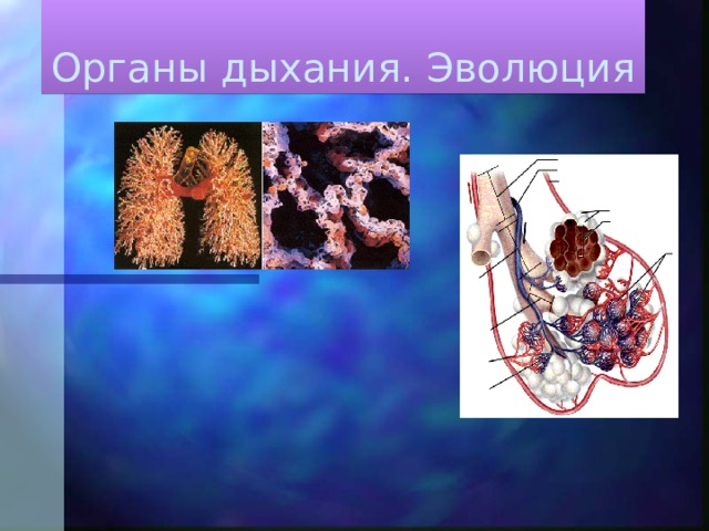 Органы дыхания. Эволюция