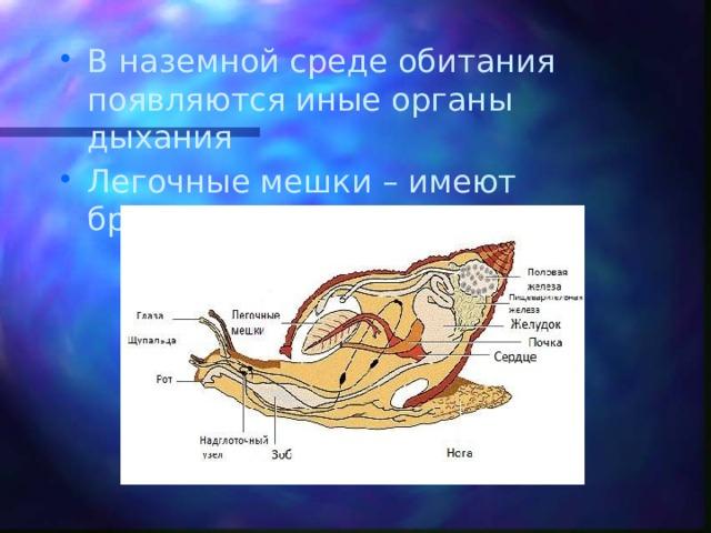 В наземной среде обитания появляются иные органы дыхания Легочные мешки – имеют брюхоногие моллюски