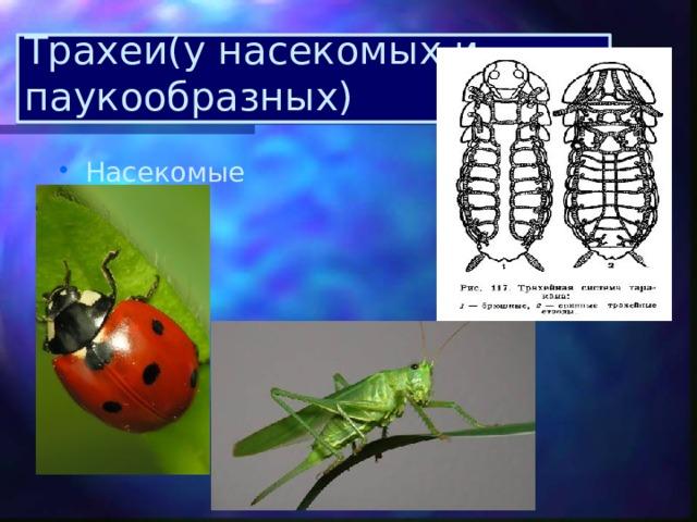 Трахеи(у насекомых и паукообразных)