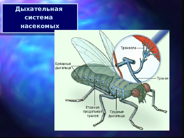 Дыхательная система насекомых МОУ