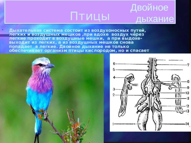 Двойное  дыхание Птицы