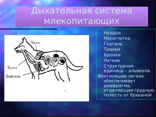 Дыхательная система млекопитающих Ноздри Носоглотка Гортань Трахеи Бронхи Легкие Структурная единица – альвеола. Вентиляцию легких обеспечивает диафрагма, отделяющая грудную полость от брюшной.