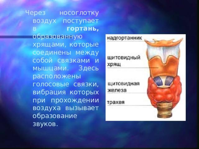 Через носоглотку воздух поступает в гортань, образованную хрящами, которые соединены между собой связками и мышцами. Здесь расположены голосовые связки, вибрация которых при прохождении воздуха вызывает образование звуков.