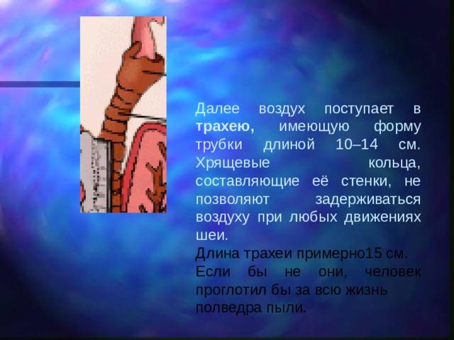 Далее воздух поступает в трахею, имеющую форму трубки длиной 10–14 см. Хрящевые кольца, составляющие её стенки, не позволяют задерживаться воздуху при любых движениях шеи. Длина трахеи примерно15 см. Если бы не они, человек проглотил бы за всю жизнь полведра пыли.