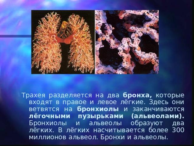Трахея разделяется на два бронха, которые входят в правое и левое лёгкие. Здесь они ветвятся на бронхиолы и заканчиваются лёгочными пузырьками (альвеолами). Бронхиолы и альвеолы образуют два лёгких. В лёгких насчитывается более 300 миллионов альвеол. Бронхи и альвеолы.
