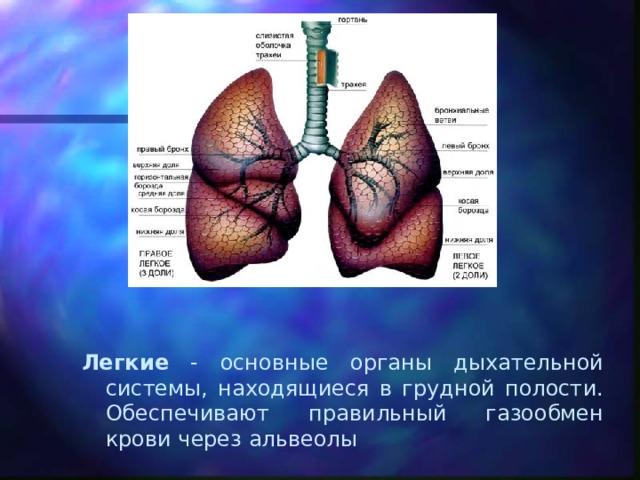 Легкие - основные органы дыхательной системы, находящиеся в грудной полости. Обеспечивают правильный газообмен крови через альвеолы