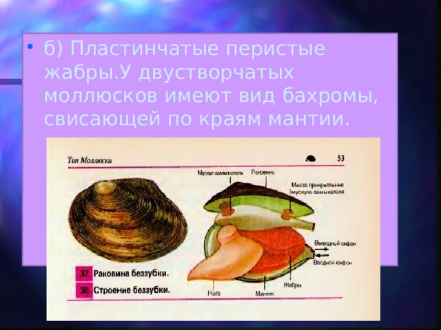 б) Пластинчатые перистые жабры.У двустворчатых моллюсков имеют вид бахромы, свисающей по краям мантии.
