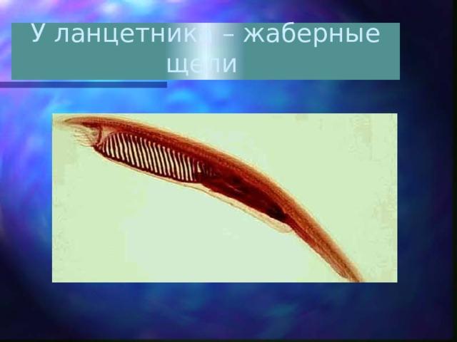 У ланцетника – жаберные щели