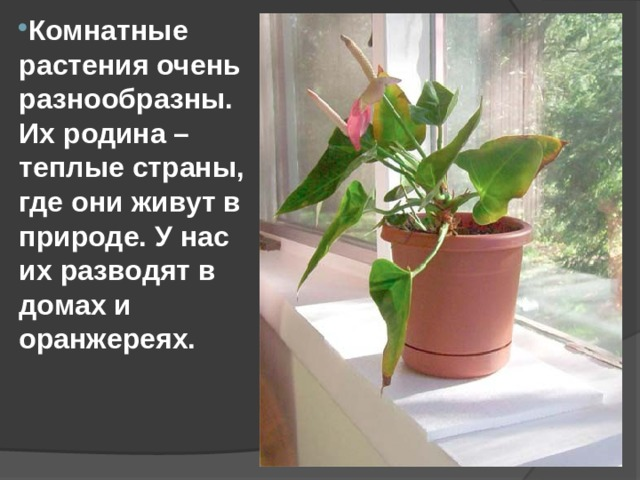Комнатные растения очень разнообразны. Их родина –теплые страны, где они живут в природе. У нас их разводят в домах и оранжереях.