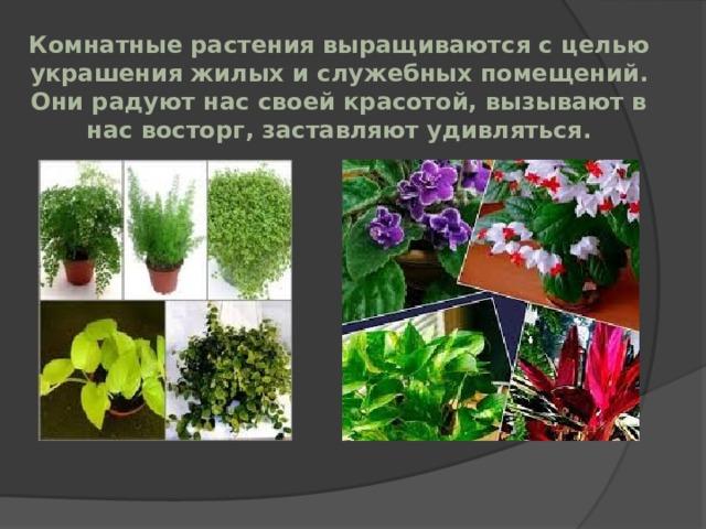 Комнатные растения выращиваются с целью украшения жилых и служебных помещений. Они радуют нас своей красотой, вызывают в нас восторг, заставляют удивляться.