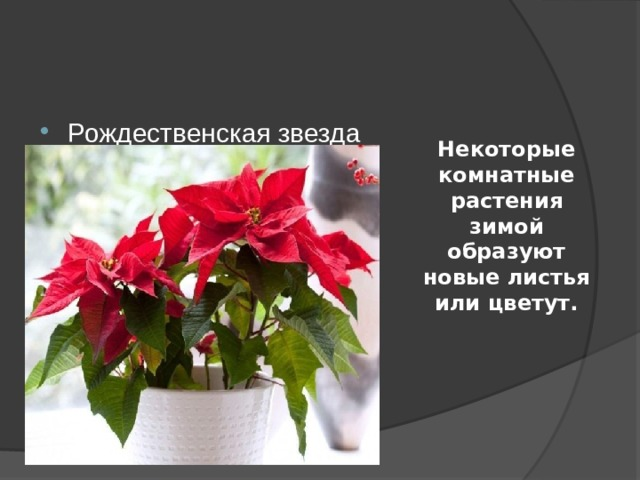 Некоторые комнатные растения зимой образуют новые листья или цветут. Рождественская звезда